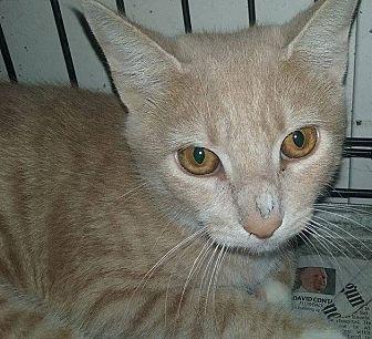Domestic Shorthair Cat for adoption in Mt Pleasant, Pennsylvania - Blonde