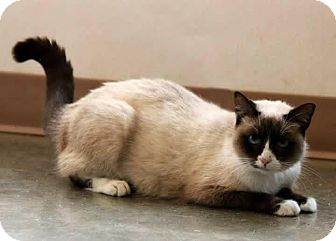 Siamese Cat for adoption in Madionsville, Kentucky - Chloe