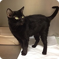 Domestic Shorthair Cat for adoption in Triadelphia, West Virginia - Petco-2  Yoda