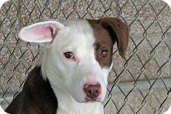 Blue Heeler/Border Collie Mix Puppy for adoption in Ruidoso, New Mexico - Cedar