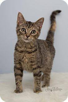 Domestic Shorthair Cat for adoption in Hamilton, Ontario - Madison