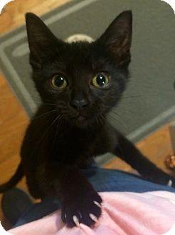 Domestic Shorthair Kitten for adoption in Columbus, Ohio - Sadie