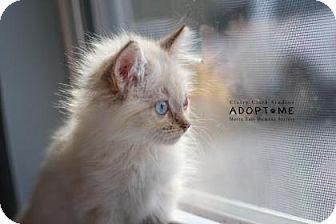 Domestic Mediumhair Cat for adoption in Edwardsville, Illinois - Strawberry