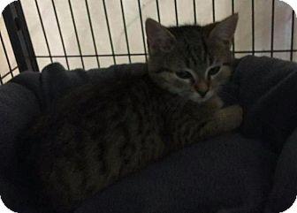 Domestic Shorthair Kitten for adoption in Freeport, New York - Wesson