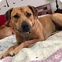 Adopt A Pet :: Holly - Dayton, OH