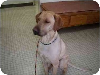 Labrador Retriever Mix Dog for adoption in La Mesa, California - BILLY