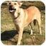 Photo 3 - Labrador Retriever/Shepherd (Unknown Type) Mix Dog for adoption in Centerton, Arkansas - Lester