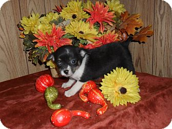 Chihuahua Puppy for adoption in Chandlersville, Ohio - Dora