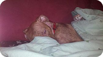 American Pit Bull Terrier Mix Dog for adoption in Bellingham, Washington - Mercy