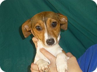 Beagle/Rat Terrier Mix Puppy for adoption in Oviedo, Florida - Dancer