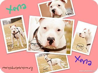 American Pit Bull Terrier/American Bulldog Mix Dog for adoption in Medina, Ohio - Xena