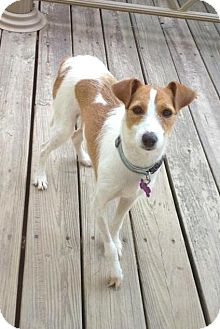 Jack Russell Terrier Mix Puppy for adoption in Richmond, Virginia - Sadie