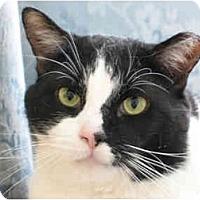 Domestic Shorthair Cat for adoption in N. Billerica, Massachusetts - Babyface