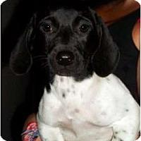 Adopt A Pet :: Kishie - Albany, NY