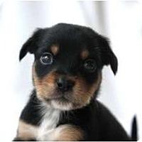 Adopt A Pet :: LuLu's PUPPIES - san diego, CA