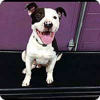 Border Collie/Pit Bull Terrier Mix Dog for adoption in Mt. Clemens, Michigan - Baxter