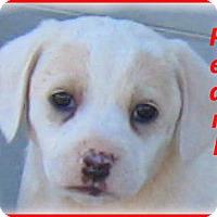 Adopt A Pet :: Pearl- Adoption Pending - Marlborough, MA
