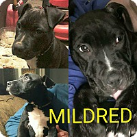 Adopt A Pet :: Mildred - Garden City, MI