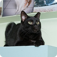 Domestic Shorthair Cat for adoption in Chicago, Illinois - Inky