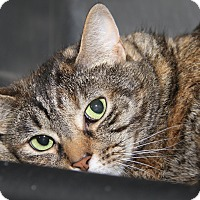 Domestic Shorthair Cat for adoption in Marietta, Ohio - Foxy (Declawed & Spayed)