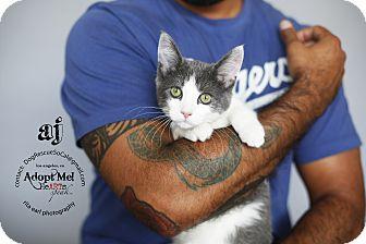 Domestic Shorthair Kitten for adoption in Marina del Rey, California - AJ