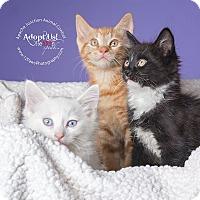 Adopt A Pet :: Sugar Bogie Elmo - Apache Junction, AZ