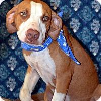 Catahoula Leopard Dog/Hound (Unknown Type) Mix Dog for adoption in Okeechobee, Florida - Rocket