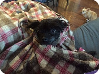 Chinese Crested/Poodle (Miniature) Mix Dog for adoption in Lebanon, Tennessee - Breezy