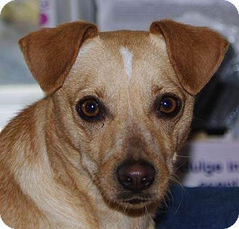 Chihuahua Mix Dog for adoption in WESTMINSTER, Maryland - Pria
