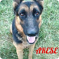 German Shepherd Dog Dog for adoption in New York, New York - Arese