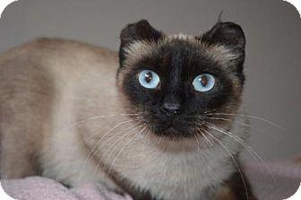 Siamese Cat for adoption in Williamston, Michigan - Addison