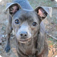 Adopt A Pet :: DOODLE BUG - Tallahassee, FL