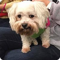 Adopt A Pet :: Suki - O'Fallon, MO