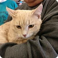 Adopt A Pet :: Cottonball - Avon, OH