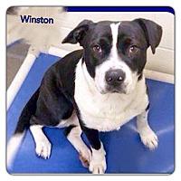 Adopt A Pet :: Winston - Kill Devil Hills, NC