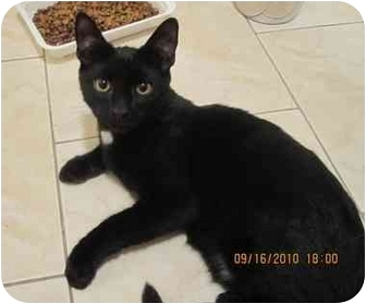Domestic Shorthair Cat for adoption in Bayonne, New Jersey - Black Magic