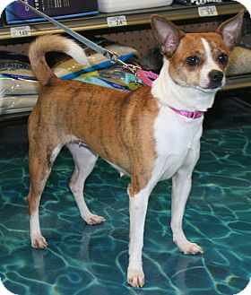 Chihuahua/Terrier (Unknown Type, Small) Mix Dog for adoption in North Olmsted, Ohio - Ginger