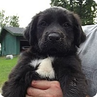 Adopt A Pet :: Feisty - Allentown, PA