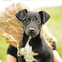 Adopt A Pet :: Barney - Seattle, WA