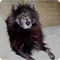 Adopt A Pet :: Lil Bit - Houston, TX