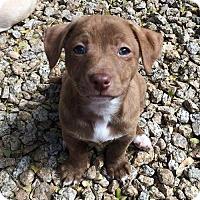 Adopt A Pet :: Paolo - Phoenix, AZ