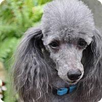 Adopt A Pet :: JINGLES - Elk River, MN