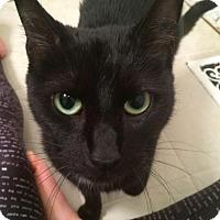 Adopt A Pet :: Velvet - Richmond Hill, ON