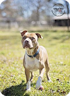 Pit Bull Terrier Mix Dog for adoption in Seattle, Washington - JJ - happy and friendly