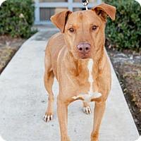 Adopt A Pet :: Pancakes - San Diego, CA