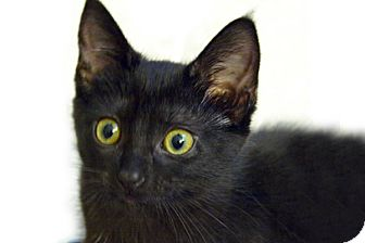 Domestic Shorthair Cat for adoption in Durham, North Carolina - Sadie