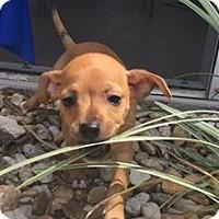 Adopt A Pet :: Rosie - Windermere, FL