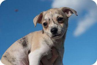 Chihuahua Mix Puppy for adoption in Monroe, Georgia - Eragon