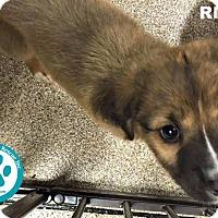 Adopt A Pet :: Riley - Kimberton, PA