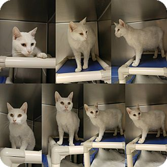 Domestic Shorthair Cat for adoption in Triadelphia, West Virginia - Petco-1   Cotton